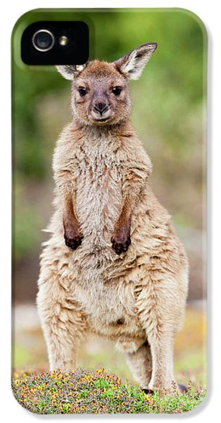Western Grey Kangaroo (macropus IPhone 5s Case by Martin Zwick