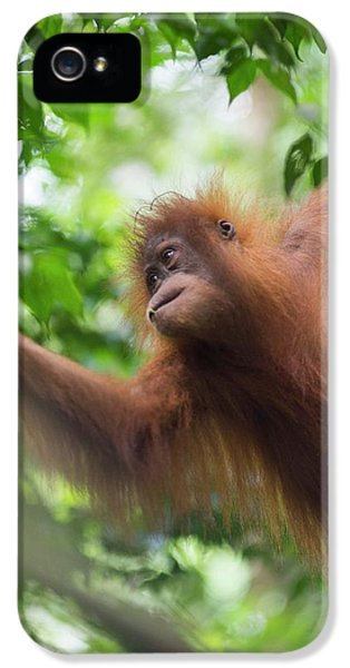 Sumatran Orangutan IPhone 5s Case by Scubazoo