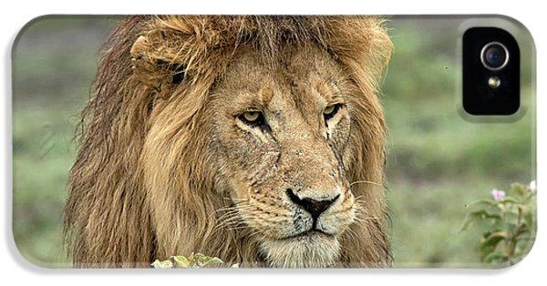 Lion iPhone 5s Case - Africa, Tanzania, Serengeti by Charles Sleicher