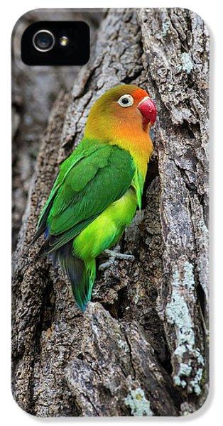 Lovebird iPhone 5s Case - Africa Tanzania Fischer's Lovebird by Ralph H. Bendjebar
