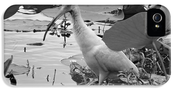 American White Ibis Black And White IPhone 5s Case by Dan Sproul