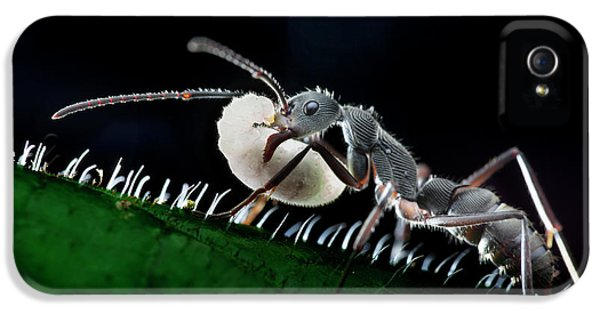 Ant Carrying Larva IPhone 5s Case by Melvyn Yeo