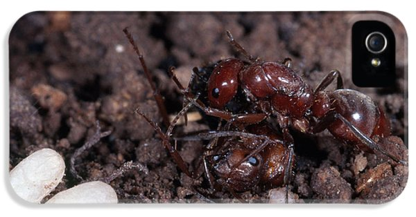 Ant Queen Fight IPhone 5s Case by Gregory G. Dimijian, M.D.