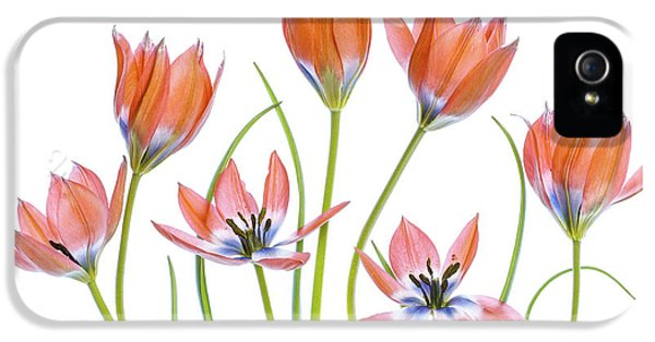 Tulip iPhone 5s Case - Apricot Tulips by Mandy Disher