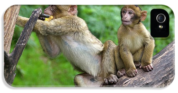 Barbary Macaques IPhone 5s Case by Nigel Downer