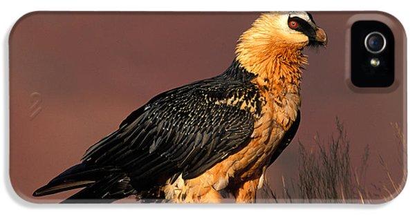Bearded Vulture Or Lammergeier IPhone 5s Case by Nigel Dennis