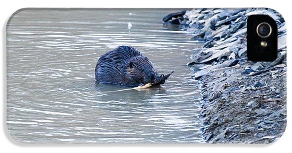 Beaver Chews On Stick IPhone 5s Case