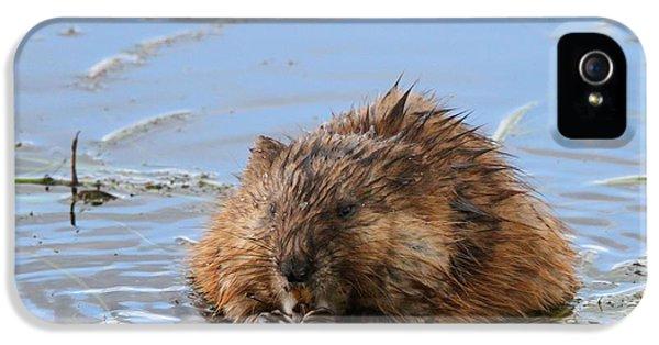 Beaver Portrait IPhone 5s Case by Dan Sproul