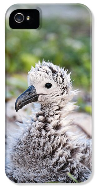 Albatross iPhone 5s Case - Black-footed Albatross / Phoebastria by Daisy Gilardini
