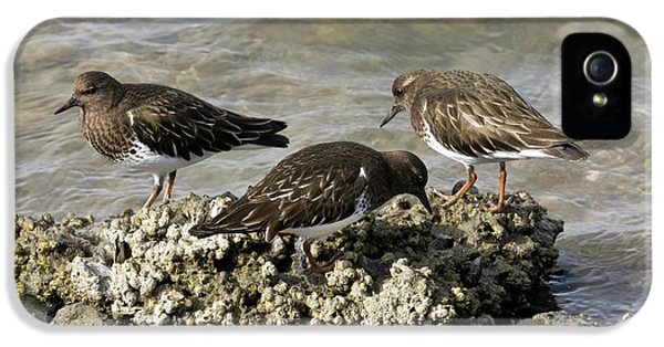 Black Turnstones Feeding IPhone 5s Case by Bob Gibbons