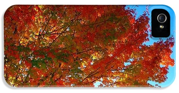 Sunny iPhone 5s Case - Blazing Orange Maple Tree by Anna Porter