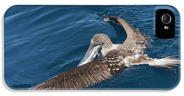 Blue-footed Booby Feeding IPhone 5s Case