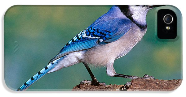 Blue Jay IPhone 5s Case by Millard H. Sharp