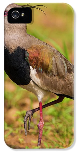 Lapwing iPhone 5s Case - Brazil A Southern Lapwing (vanellus by Ralph H. Bendjebar