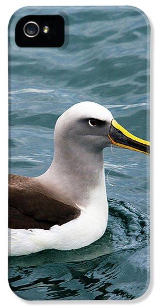 Buller's Albatross (thalassarche Bulleri IPhone 5s Case by Micah Wright
