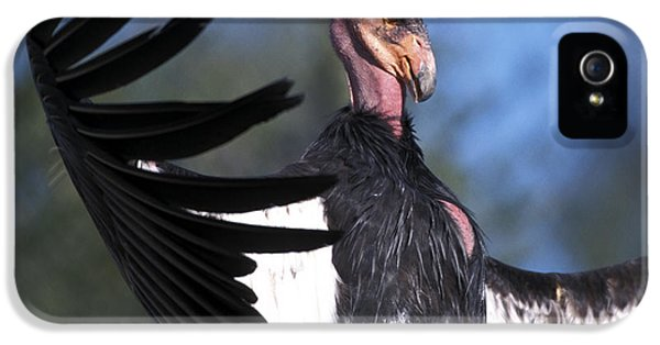 California Condor IPhone 5s Case