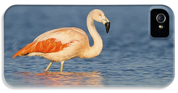 Chilean Flamingo IPhone 5s Case by Ronald Kamphius