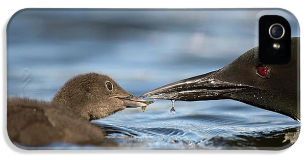 Loon iPhone 5s Case - Common Loon Feeding Chick by Dr P. Marazzi