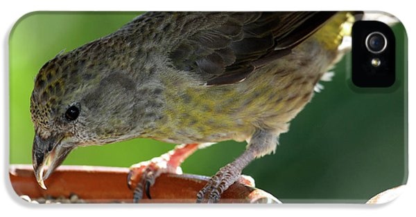 Crossbill iPhone 5s Case - Crossbill Loxia Curvirostra Female by David Santiago Garcia
