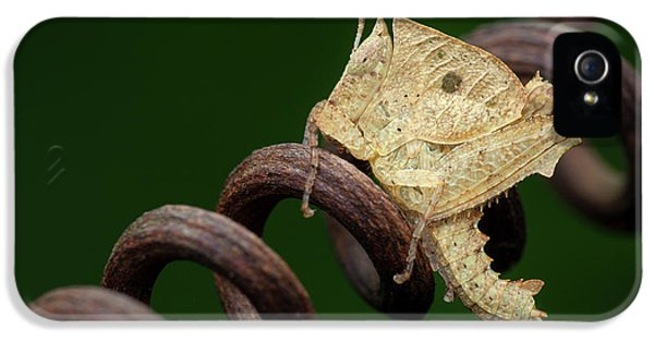 Grasshopper iPhone 5s Case - Dead Leaf Grasshopper Nymph by Melvyn Yeo
