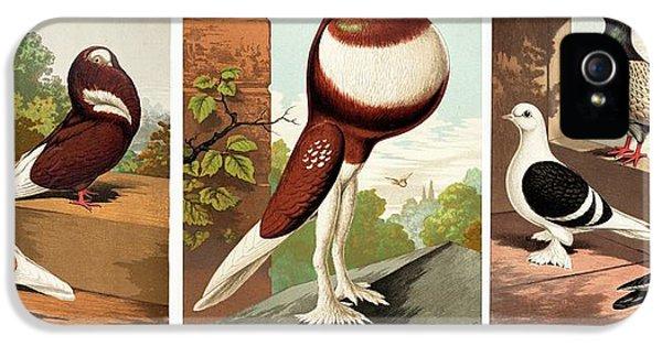 Domestic Fancy Pigeon Breeds IPhone 5s Case by Paul D Stewart