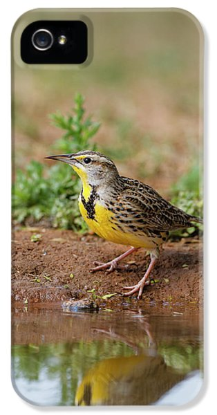 Meadowlark iPhone 5s Case - Eastern Meadowlark (sturnella Magna by Larry Ditto
