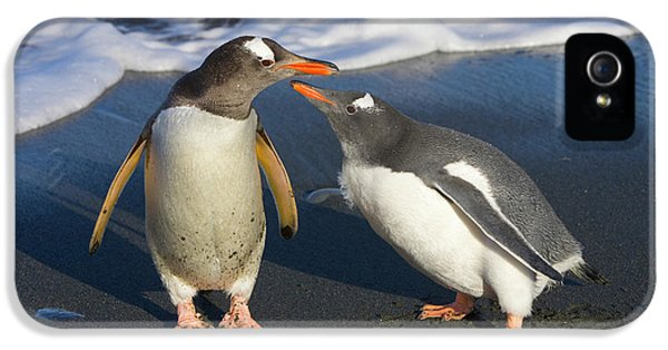 Gentoo Penguin Chick Begging For Food IPhone 5s Case by Yva Momatiuk and John Eastcott