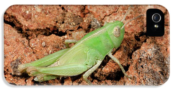 Grasshopper Aiolopus Strepens Nymph IPhone 5s Case by Nigel Downer