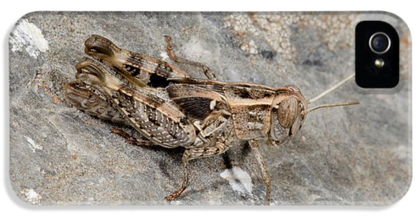 Grasshopper Calliptamus Barbarus Juvenile IPhone 5s Case by Nigel Downer