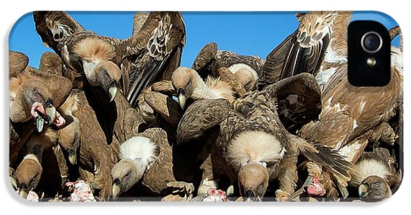 Griffon Vultures Feeding IPhone 5s Case by Nicolas Reusens