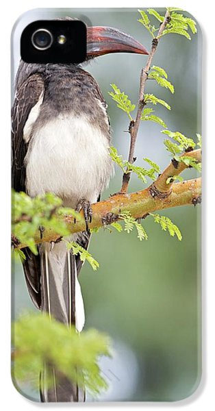 Hornbill iPhone 5s Case - Hemprich's Hornbill by Tony Camacho