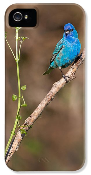 Indigo Bunting Portrait IPhone 5s Case by Bill Wakeley