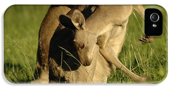Kangaroos Taking A Bow IPhone 5s Case by Bob Christopher