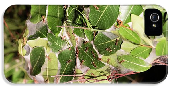 Leaf-stitching Ants Making A Nest IPhone 5s Case by Tony Camacho