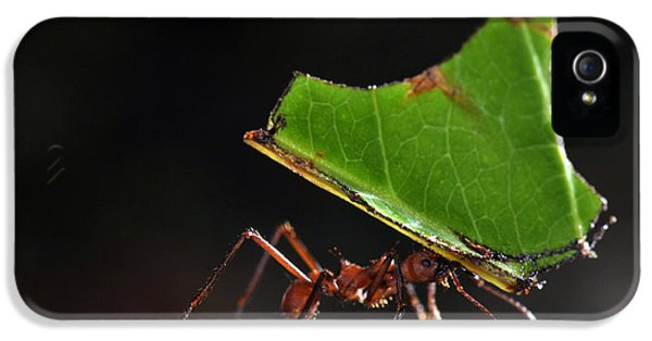 Leafcutter Ant IPhone 5s Case by Francesco Tomasinelli