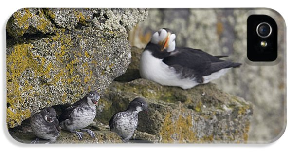 Least Auklets Perched On A Narrow Ledge IPhone 5s Case by Milo Burcham