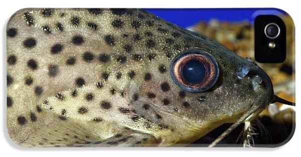 Leopard Sailfin Pleco IPhone 5s Case by Nigel Downer