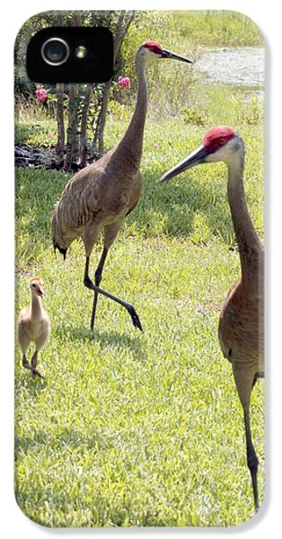 Crane iPhone 5s Case - Looking For A Handout by Carol Groenen