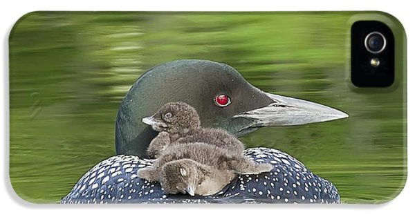 Loon iPhone 5s Case - Loon Chicks -  Nap Time by John Vose
