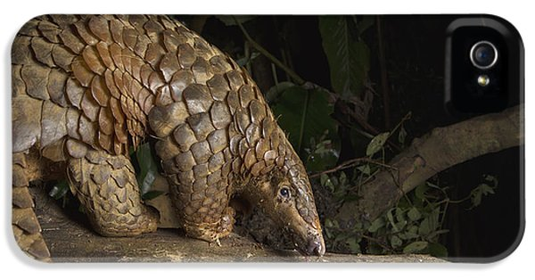 Malayan Pangolin Eating Ants Vietnam IPhone 5s Case by Suzi Eszterhas