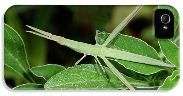 Mediterranean Slant-faced Grasshopper IPhone 5s Case by Nigel Downer