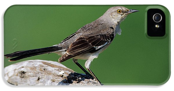 Mockingbird iPhone 5s Case - Northern Mockingbird (mimus Polyglottos by Richard and Susan Day