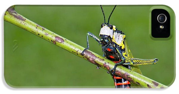 Grasshopper iPhone 5s Case - Northern Spotted Grasshopper by K Jayaram