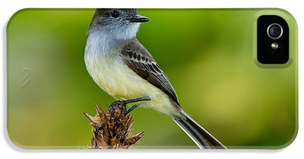 Pale-edged Flycatcher IPhone 5s Case by Anthony Mercieca