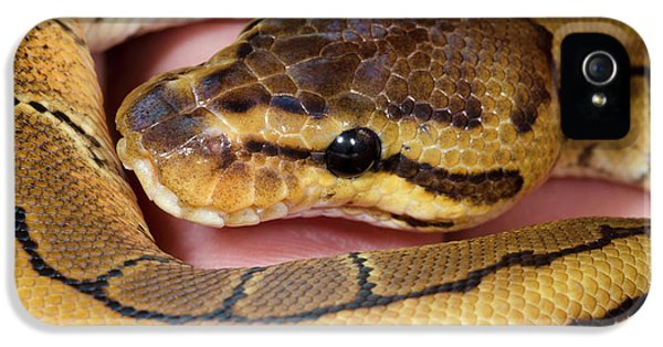 Pinstripe Royal Python IPhone 5s Case by Nigel Downer