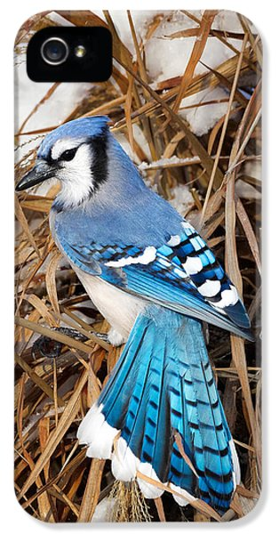 Portrait Of A Blue Jay IPhone 5s Case by Bill Wakeley