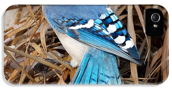 Portrait Of A Blue Jay Square IPhone 5s Case by Bill Wakeley