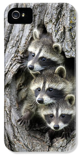 Raccoon Trio At Den Minnesota IPhone 5s Case