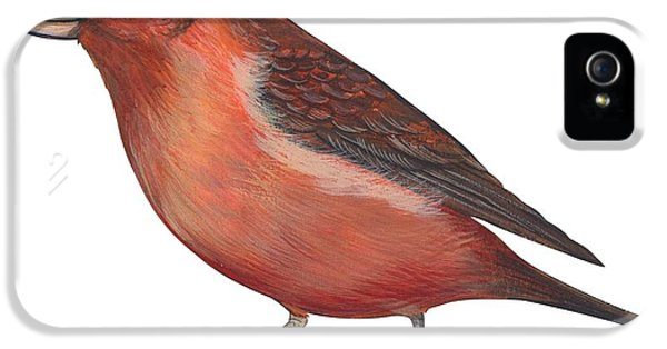 Crossbill iPhone 5s Case - Red Crossbill by Anonymous