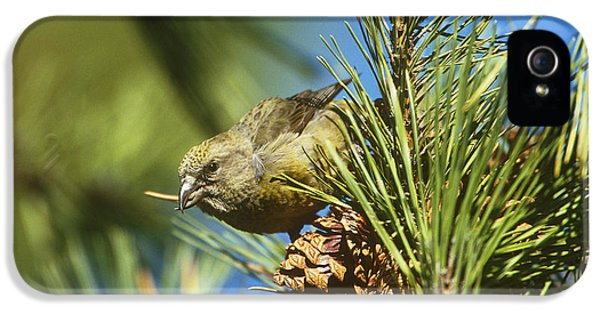 Crossbill iPhone 5s Case - Red Crossbill Eating Cone Seeds by Paul J. Fusco